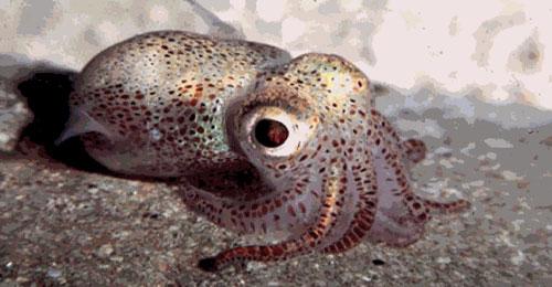 Squid-500x260